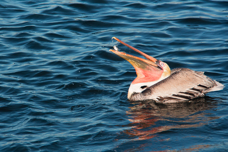 Close up of a large brown Pelican bird swallowing fish.