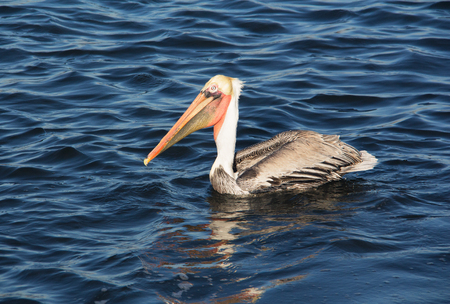 Close up of a large brown Pelican bird
