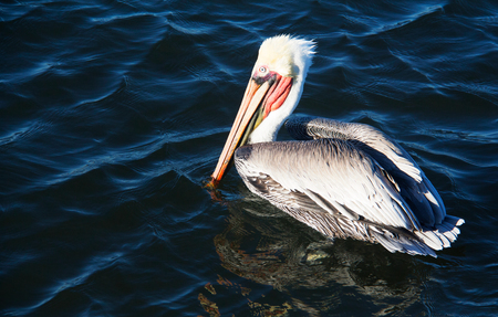 Closeup of adult blue eyed pelican swimming in Southern California. Huge, stocky seabirds. Thin necks, long bills, stretchy pouch used for capturing fish. Long and broad wings. Banco de Imagens