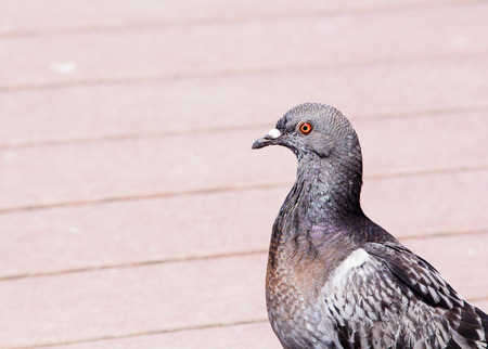 Close up of rock pigeon walking on the boardwalk