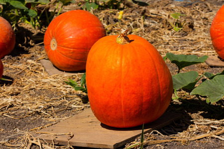 Large pumpkins growing in a field in Orange County California.  Cucurbita Pepo.  Round, smooth, slightly ribbed skin, deep yellow to orange coloration, thick shell. Stock Photo