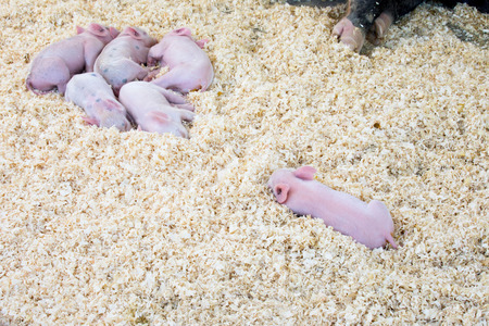Closeup of 1 week old white baby piglets resting