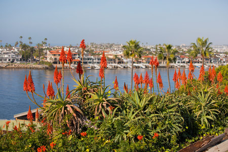 Cluster of red torch lilies overlooking the ocean.  Kniphofia Nancys Red, tall upright stems with a clump of grass like leaves. Corona Del Mar, Newport Beach, California