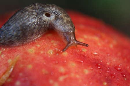 Slug Crawling on Overripe Bruised Apple Stock Photo