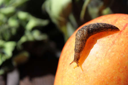 semitransparent: Slug With Shadow Crawling on an Apple