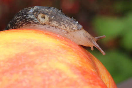 semitransparent: Slug Crawling on a Red Apple