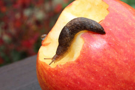 Slug Crawling on a Red Apple With a Bite in It