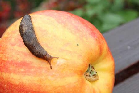 Slug Crawling Over Red Apple Banque d'images - 72061062