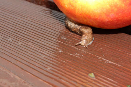 Slug Crawling over Wet Wood Next to an Apple