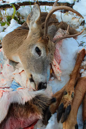 Closeup of a Freshly Killed White Tail Deer Remains after Skinning Stock Photo