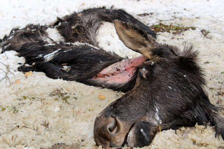 scavenge: Week Old Discarded Remains of a Moose Hide and Head Stock Photo