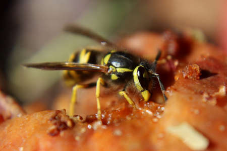 A Wasp Feasting on a Over Ripe Apple