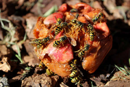 Swarm of Wasps Gorging on a Rotten Apple Stock Photo