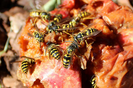 Swarm of Hornets Gorging on a Rotten Apple Stock Photo