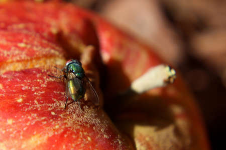 Common House Fly Sitting on a Red Apple