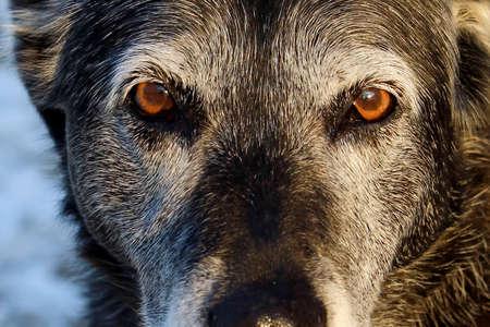 Senior Dog Giving Serious Look