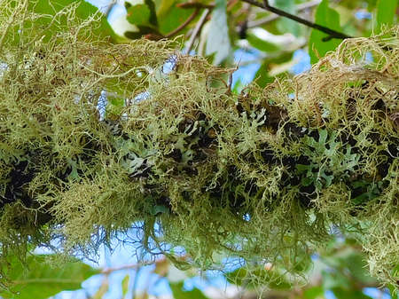 Closeup of Lichen on a Tree Branch