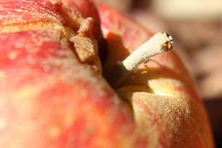 Macro of a Fuzzy Red Apple Stem. Stock Photo