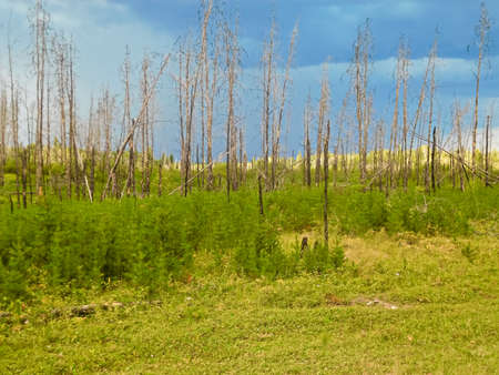 deforestacion: Tree regrowth after a forest fire with another storm approaching.