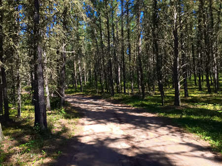 shadowed: Lonely shadowed road through spruce trees.