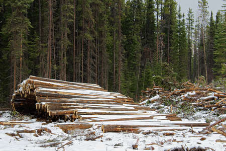Stacks of cut timber ready to be hauled out of a logging area. Stock Photo
