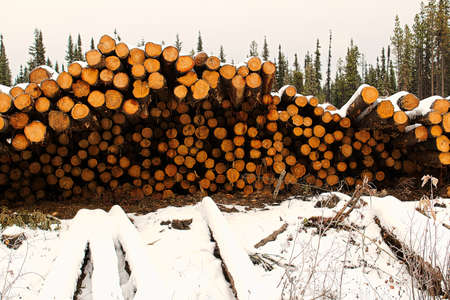 Piles of spruce trees stacked prior to removal. Stock Photo