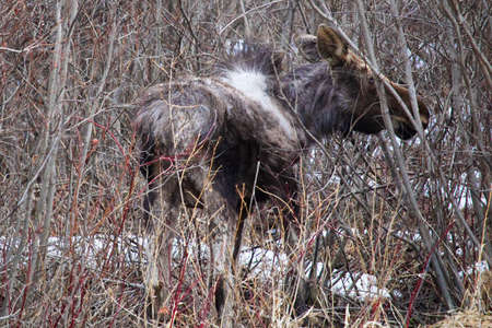 Baby moose seen along the road.