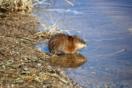 Muskrat sitting beside water in the morning.