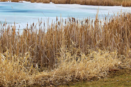 Rushes along a pond bank in spring.