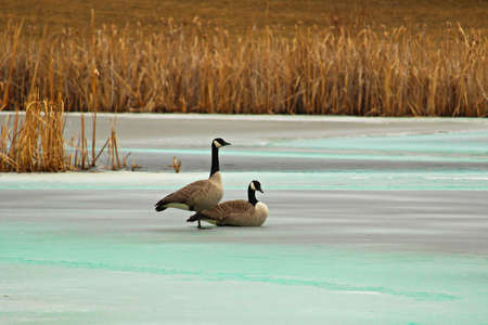A pair of Canadian Geese back in the spring.