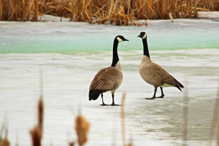 A pair of canadian geese walking on a ice covered pond.