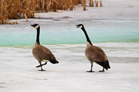 One of the first sets of Canadian Geese returning in the spring.