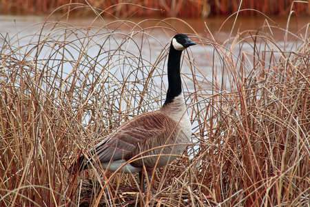 A Canada Goose standing amongst the dry reeds. Stock Photo