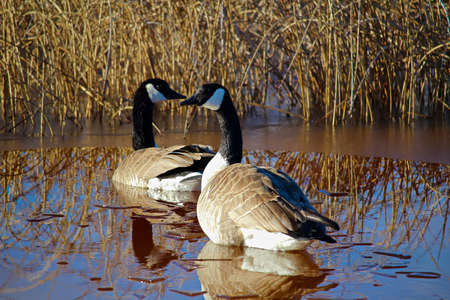 A pair of Canadian Geese searching for a nesting site. 版權商用圖片