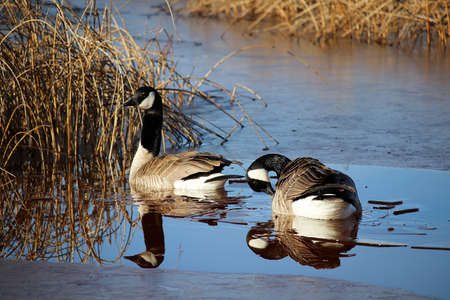 A pair of Canadian Geese reflected in semi-frozen water. Stock Photo