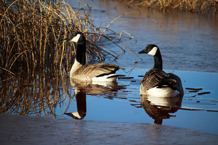 herbivores: A pair of Canadian Geese back from migration in the spring. Stock Photo