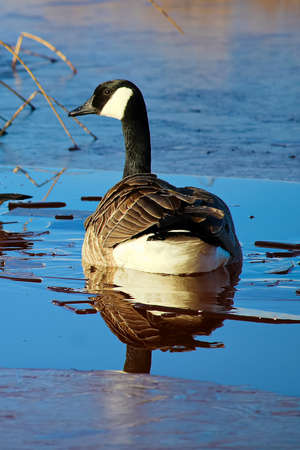 A Canada Goose swimming in cold frozen water.