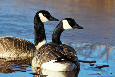 A pair of Canadian Geese swimming on an ice covered pond.