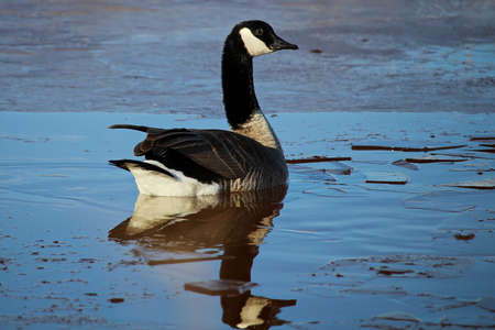 A Canada Goose swimming amongst ice.