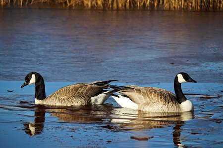 A nesting pair of Canadian Geese. Stock Photo
