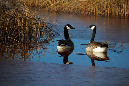 A pair of Canadian Geese that have arrived in spring.