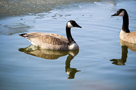 A pair of Canadian Geese in spring.