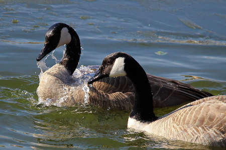A pair of Canadian Geese washing themselves in water. Stock Photo