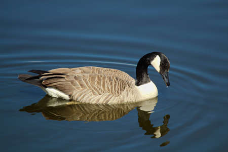 A Canada Goose swimming on calm water with a reflection.