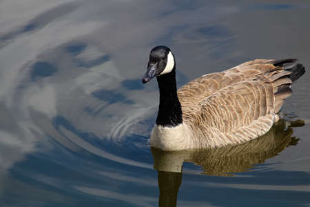 A Canada Goose swimming on calm blue water. Stock Photo