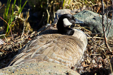 A mother Canadian Goose sitting on a nest.