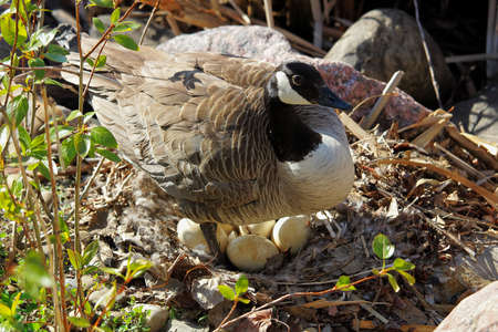 A mother Canadian Goose standing over her next os eggs. Stock Photo