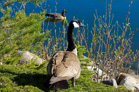 A Canadian Geese beside the water with another swimming in the background.