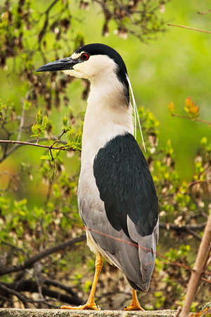 A Black Crown Night Heron standing on a wall with a tree in the background. Stock Photo