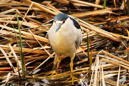 gray herons: A Black Crown Night Heron walking along dried reeds.